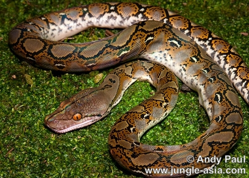 python reticulatus. A Reticulated Python photographed near a...