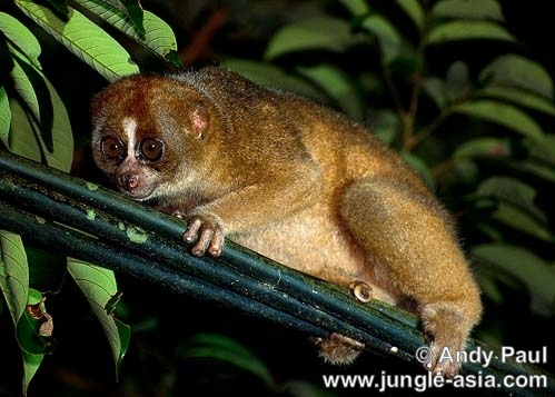 nycticebus coucang. During the fruiting season, Slow Lorises...
