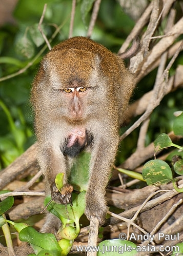 macaca fascicularis (female and juvenile). A juvenile Long-tailed Macaque clings on...