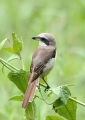 lanius cristatus. Brown Shrike.