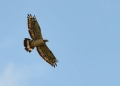 pernis ptilorhynchus. The Oriental Honey Buzzard or Crested Ho...