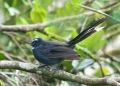 rhipidura albicollis. White-throated Fantail.