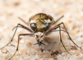 Closeup of an unidentified tiger beetle ...