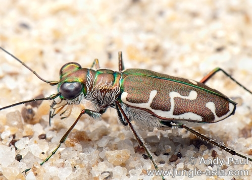 An unidentified tiger beetle with irides...