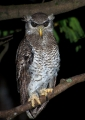 bubo sumatranus. Barred Eagle-Owl or Malay Eagle-Owl.