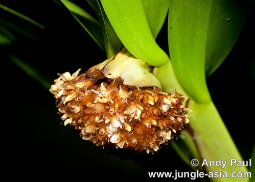 agrostophyllum majus. A large epiphytic orchid with ball-like ...