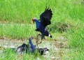 porphyrio porphyrio. Two Purple Swamphen fighting , probably ...