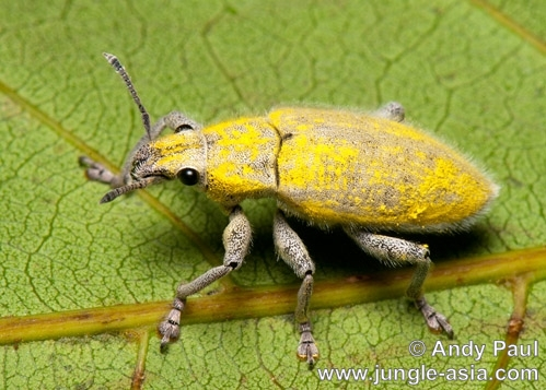hypomeces squamosus . The Gold-dust Weevil, although a beautif...