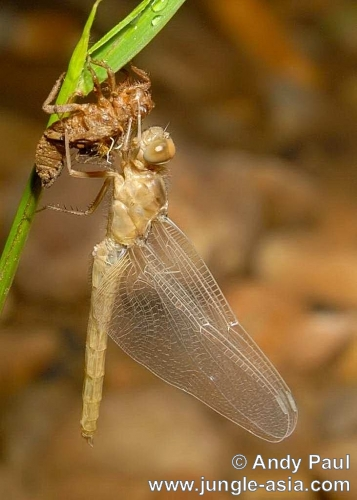 Young dragonflies (known as naiads) are ...