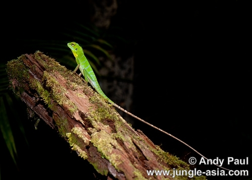 bronchocela cristatella. An arboreal, the Green Crested Lizard is...