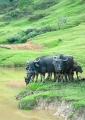 Water buffaloes at Puneng Kelalan hill s...