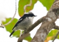 ficedula westermanni (male). Little Pied Flycatcher, a common montane...