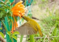 arachnothera magna. A Streaked Spiderhunter feeding on necta...