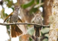 hypsipetes mcclellandii. Adult and juvenile Mountain Bulbul.
