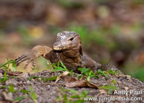 varanus salvator. The Malayan Water Monitor Lizard is a la...