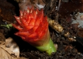 zingiber sp.. A ginger photographed in the Belum tropi...