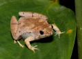 microhyla sp.. An unidentified narrow-mouthed frog phot...