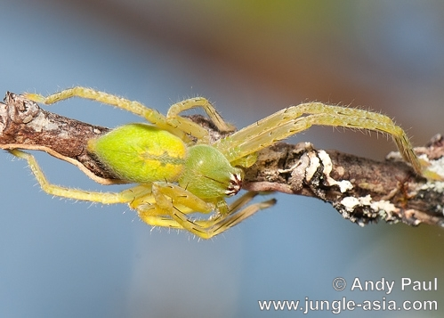 A sparassid spider, possibly Olios sp., ...