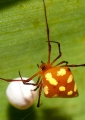 theridula sp.. Theridula sp. spider with egg sac. A ver...