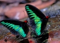 trogonoptera brookiana (male). Male Rajah Brooke's Birdwing puddling at...