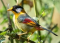 leiothrix argentauris (male). A male Silver-eared Mesia. Males possess...