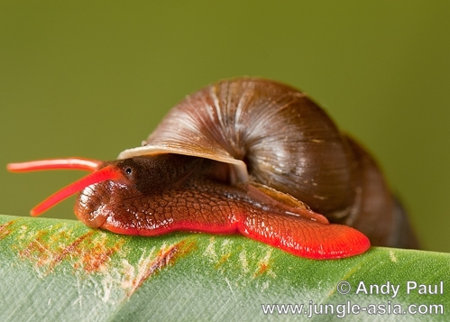 An unidentified red forest land snail.