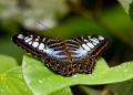 parthenos sylvia. A Malaysian Blue Clipper butterfly photo...