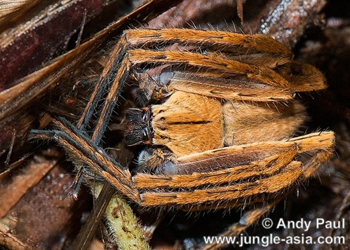 gnathopalystes kochi. A huntsman spider crouches and flattens ...
