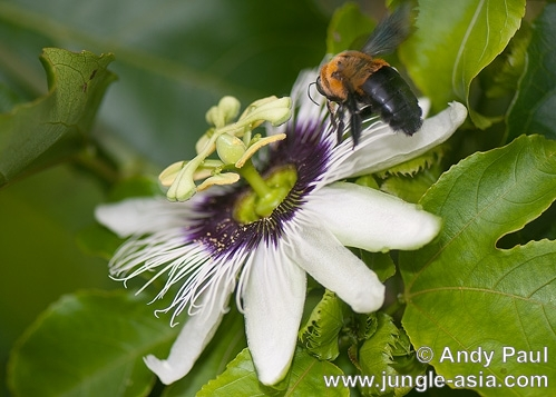 passiflora edulis (non-native). Passion flowers are appreciated not only...