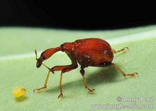 trachelophorus sp. (female). A female Giraffe Weevil with her larva. ...