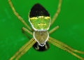 argiope sp.. A spider of the genus argiope, photograp...