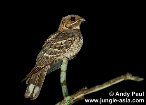 caprimulgus macrurus. The Large-tailed Nightjar is a nocturnal...
