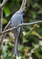 dicrurus leucophaeus (grey morph). The Ashy Drongo is known to imitate the ...