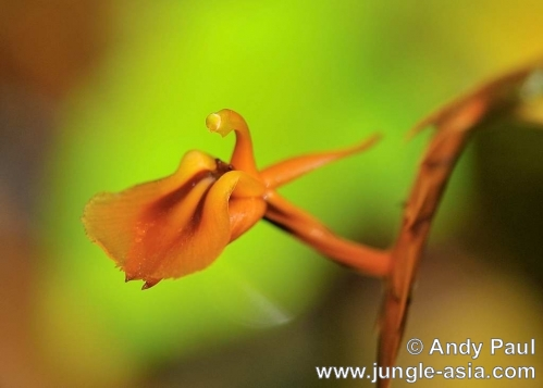liparis compressa. Although a terrestrial orchid, this wild...