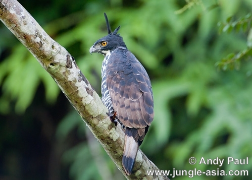 nisaetus alboniger. Blyth's Hawk-eagle. (side view).