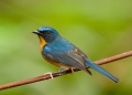 cyornis banyumas. Hill Blue-flycatcher.