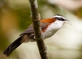 pomatorhinus montanus. Chestnut-backed Scimitar-babbler.