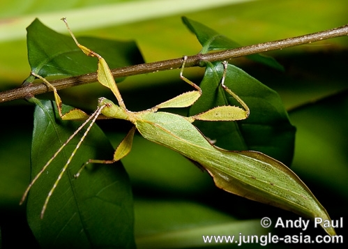 phyllium sp. (male). A male leaf insect from the genus phylli...
