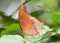 terinos atlita teuthras (male). The terinos atlita teuthras butterfly's ...