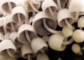 coprinus sp.. Clusters of coprinoid mushroom thrive on...
