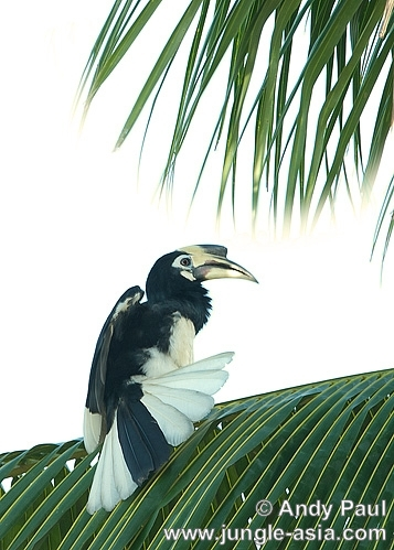 anthracoceros albirostris. An Oriental Pied Hornbill stretching and...