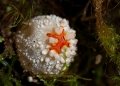calostoma sarasinii. The fruiting body of calostoma sarasinii...