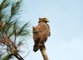 spilornis cheela. The Crested Serpent Eagle has powerful t...