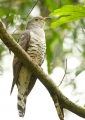 cuculus micropterus. Indian Cuckoo (cuculus micropterus).
