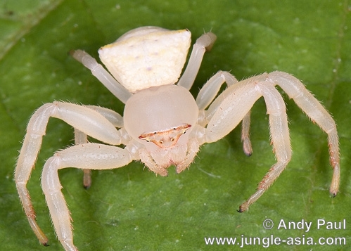 thomisus sp.. Crab Spiders (thomisus sp.) are ambush p...