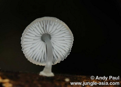 mycena sp.. A small bioluminescent mushroom which th...
