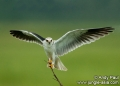 elanus axillaris. Black-shouldered Kite photographed in th...