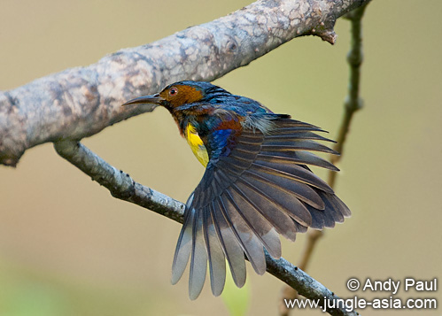 anthreptes malacensis (male). Brown-throated Sunbird (anthreptes malac...