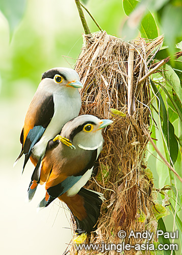 serilophus lunatus. A pair of Silver-breasted Broadbills. Du...