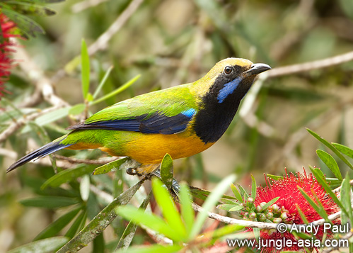 chloropsis hardwickii. Orange-bellied Leafbird (chloropsis hard...